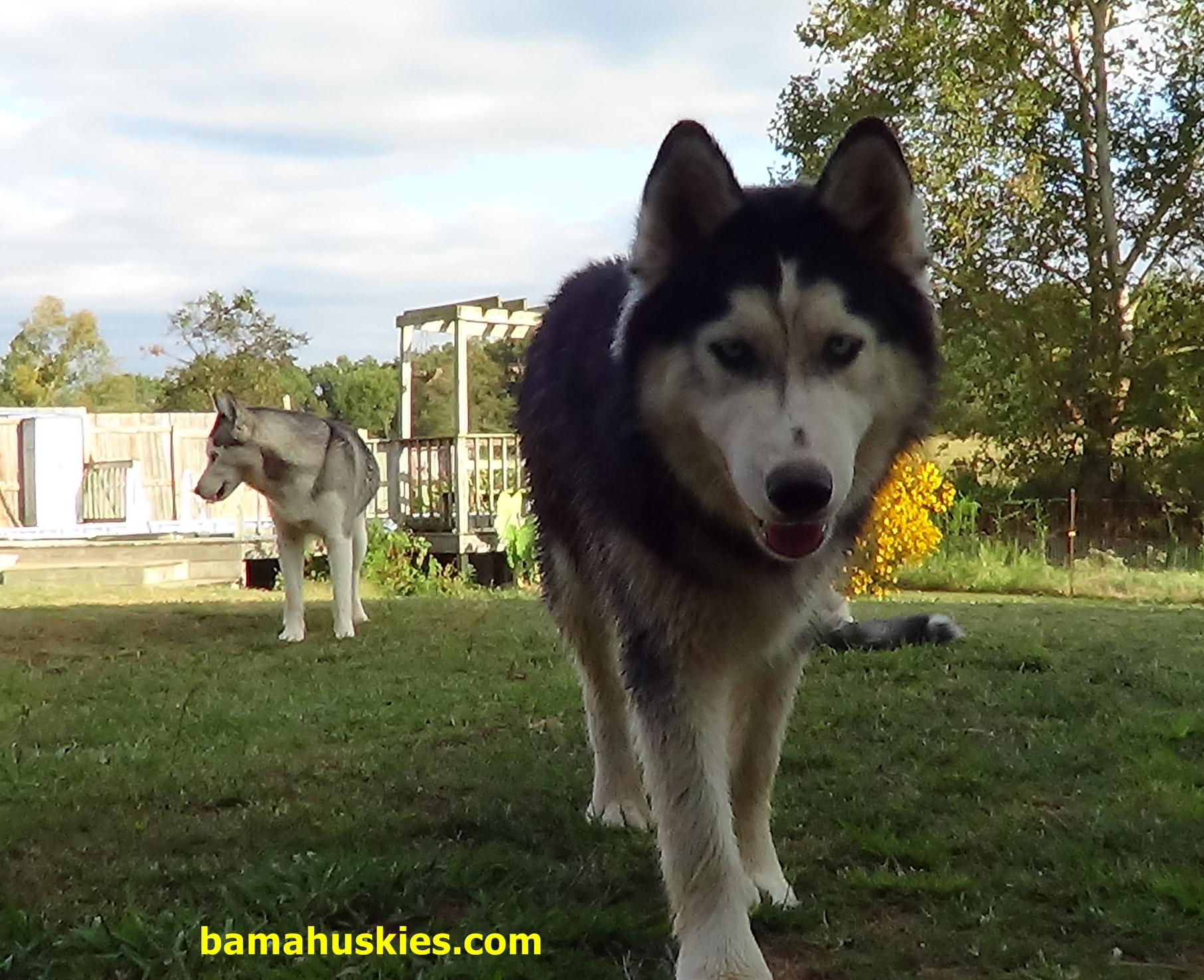 Image Result For Siberian Husky Puppies For Sale In Alabama
