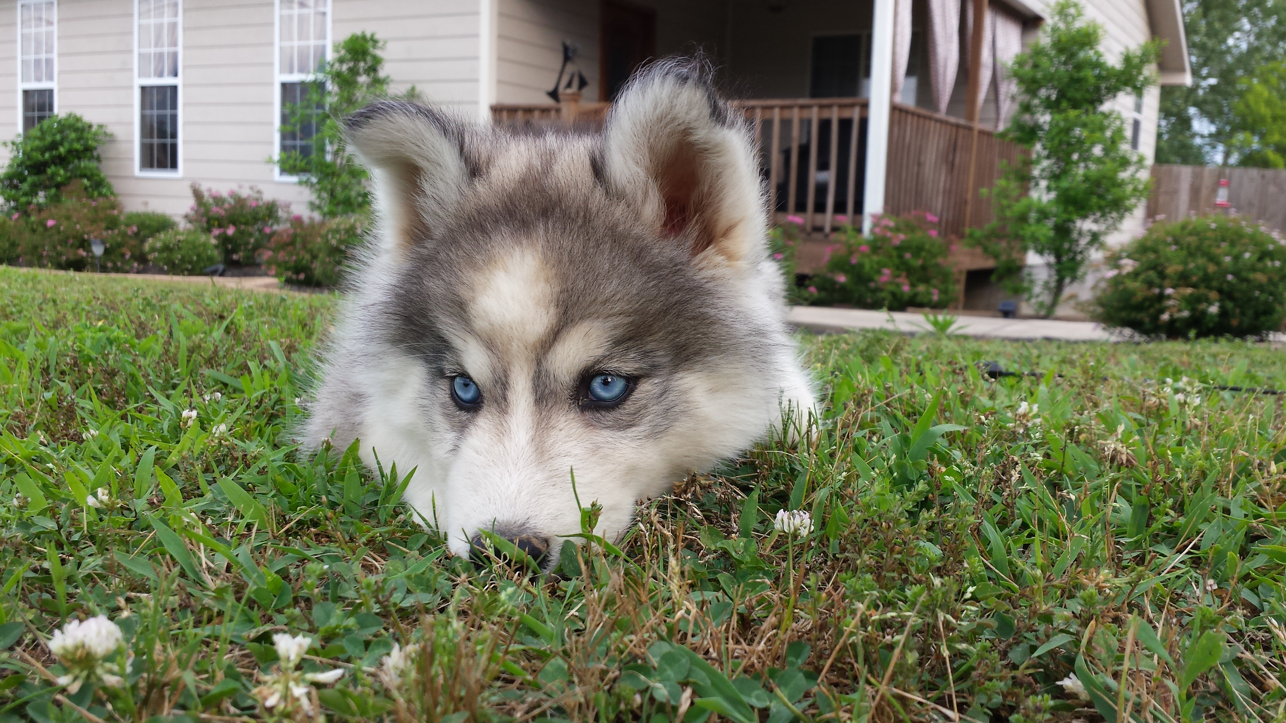 Husky Puppies Archives Husky Videos And Pictures